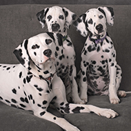 Concerns  upon release of new Dalmation film