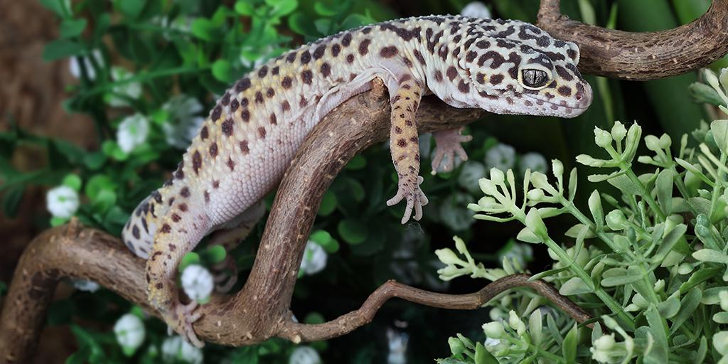 Leopard gecko skin tumours linked to human melanoma gene
