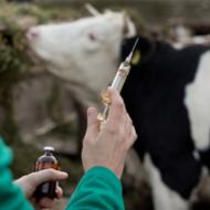 Trials underway for new bTB cattle vaccine