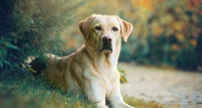 Labrador retrievers at significant risk of arthritis, research finds