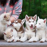 Kennel Club updates Assured Breeder Scheme