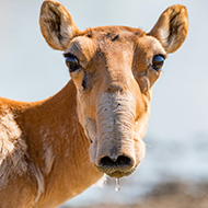Comeback made by critically endangered antelope species