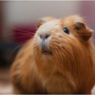 RSPCA concerned about Guinea Pig welfare