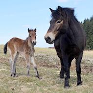 Exmoor ponies introduced to Cochno Farm