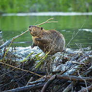 Consultation launched on the reintroduction of beavers in England