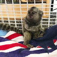 Baby marmoset rescued by RSPCA