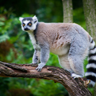 Lemurs acquire drug-resistant bacteria by sharing environment with humans