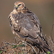 Record numbers for hen harrier breeding