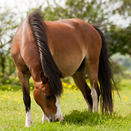 Study highlights impact of COVID-19 on equine laminitis management