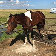 Stuck stallion gets rescued after gate mishap