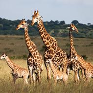 Study suggests giraffe are 'socially complex'