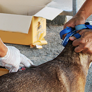 Dog vaccination for rabies essential for preventing spread to humans