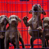 Commercial import of dogs rises by 75 per cent