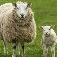 Blood tests reveal urgent need for pre-tupping vaccination