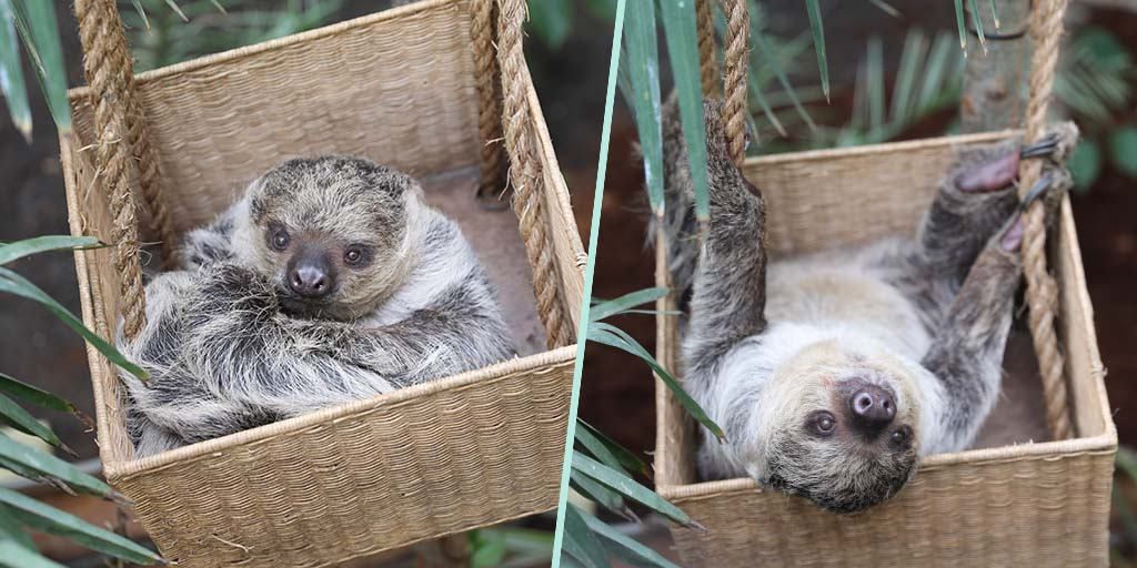 Scotland's first sloths revealed at Edinburgh Zoo
