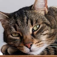 Cat fur colour patterns linked to key gene