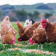 UK declared free from avian influenza