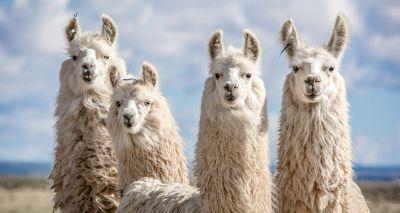 Llama antibodies show