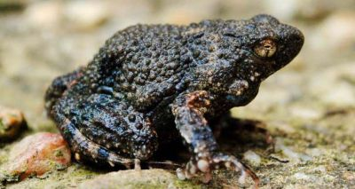 Amphibian foam could aid drug delivery in humans, study finds