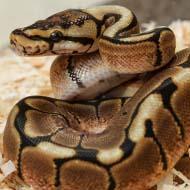 BVA highlights welfare needs of reptiles