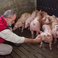 Temporary visas to help tackle pig backlogs