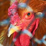 Vets urge action to reduce avian flu risk