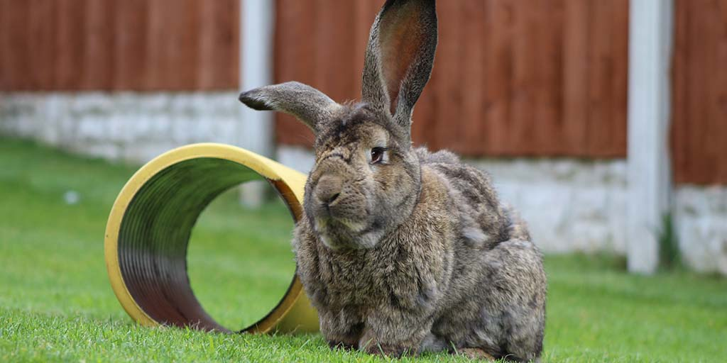 Giant rabbits susceptible to unusual fracture