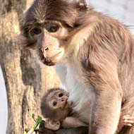 Baby mangabey born at ZSL London Zoo
