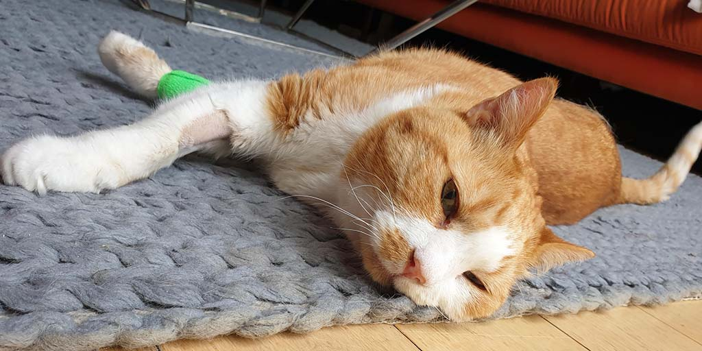 Electrochemotherapy treatment saves cat with painful tumour