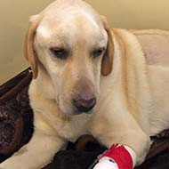 Dog owners sought for autoimmune disease research