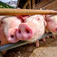 Vet responds to Prime Minister's pig cull comments